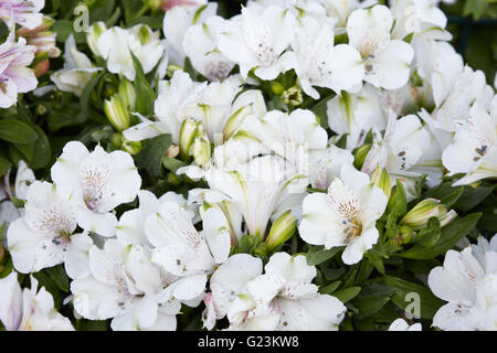 Astroemeria white flowers background with buds and leaves - Stock Photo