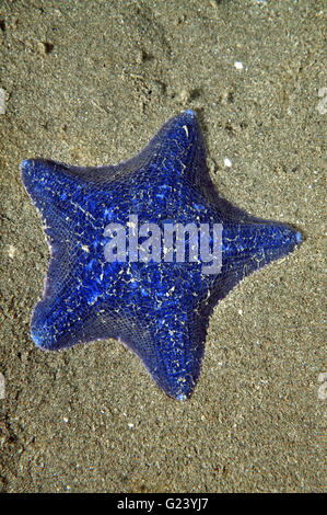 Unusually blue cushion sea star on sand - Stock Photo