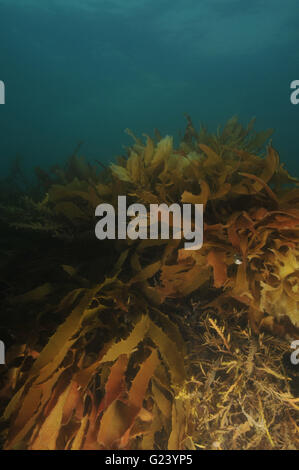 Growth of brown kelp in late evening - Stock Photo