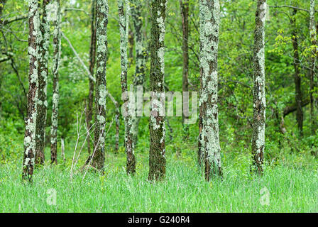A grove of lichen-covered trees grow in a field of grass in the middle of a forest in Shenandoah National Park, - Stock Photo
