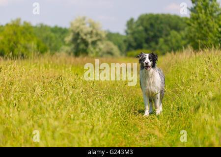 Border Collie, Blue Merle portrait - Stock Photo