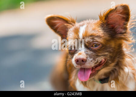 Cute portrait Chihuahua in the grass - Stock Photo