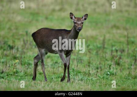 female sika deer - Stock Photo