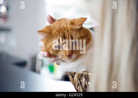 An orange tabby lying in a wicker basket being pet gently. Close up. - Stock Photo