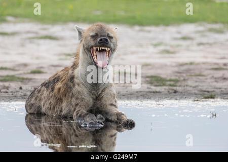 Spotted Hyena (Crocuta crocuta) yawning, Liuwa Plain National Park, Western Province, Zambia - Stock Photo