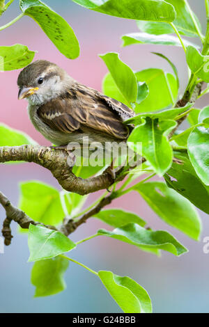 Immature House Sparrow Passer domesticus sitting in tree. - Stock Photo