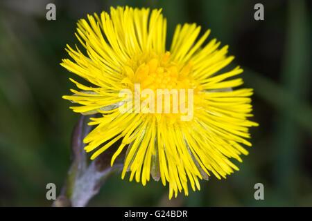 Colt's-foot Tussilago farfara flower head - Stock Photo
