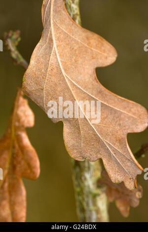 English or Pedunculate Oak Quercus robur tree dried leaves. - Stock Photo