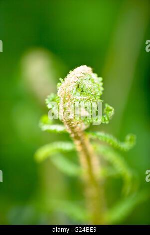Bracken Pteridium aquilinum leaf spear just opening - Stock Photo