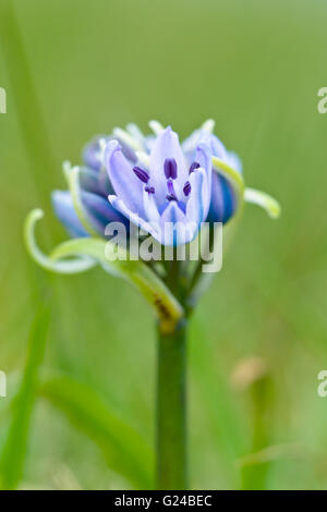 Spring Squill Scilla verna flowers - Stock Photo