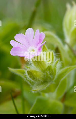 Red Campion Silene dioica flower - Stock Photo