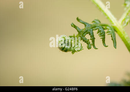 Bracken Pteridium aquilinum fronds starting to unfurl - Stock Photo
