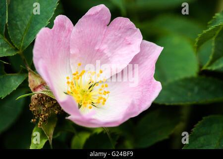 Dog rose Rosa canina flower Berkshire United Kingdom - Stock Photo