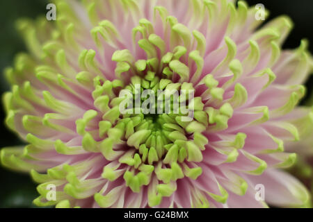 Detail of a flower named Rossano Charlotte in honour of Princess Charlotte on display at the National Chrysanthemum - Stock Photo