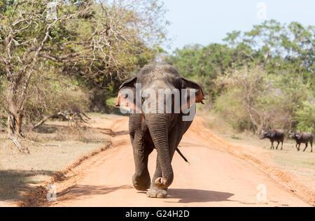 Yala National Park , Sri Lanka. An elephant walks down a dusty road - Stock Photo