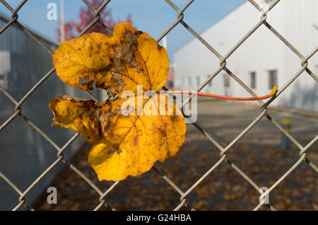 yellow maple leaves caught on a wire fence Stock Photo, Royalty ...