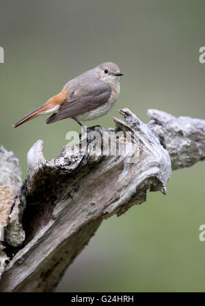 Common redstart, Phoenicurus phoenicurus, single female on branch, Wales, May 2016 - Stock Photo