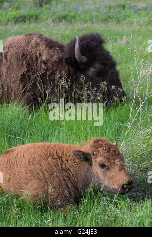 American Bison (Bison bison) parent with calf, resting in grasslands, Western USA - Stock Photo