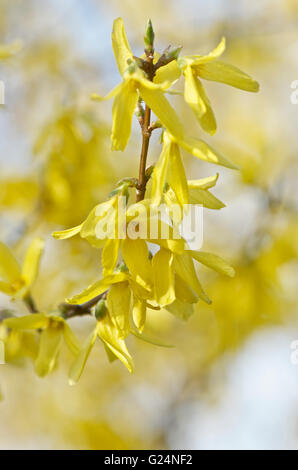 Forsythia in flower and bud - Stock Photo