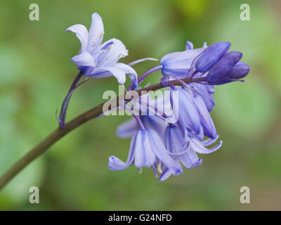 Hybrid Bluebell Hyacinthoides x massartiana - Stock Photo
