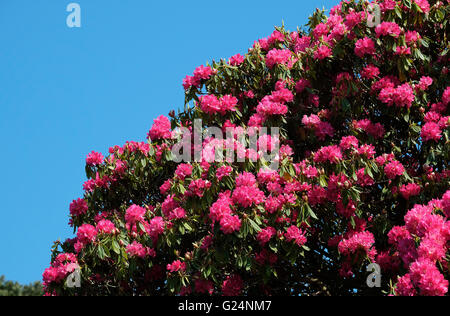 red rhododendron flowers - Stock Photo