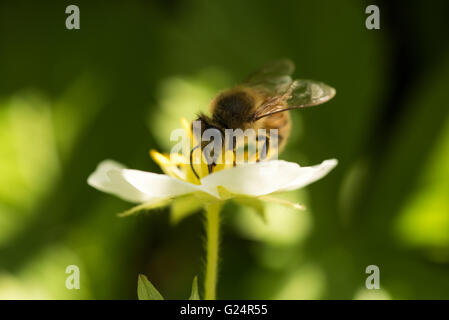 Bee at work on a strawberry flower - Stock Photo