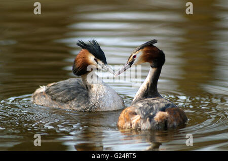 Great crested grebe (Podiceps cristatus) couple swimming in pond in spring - Stock Photo
