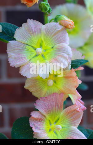 Alcea rosea (common hollyhock) is an ornamental plant in the Malvaceae family. It was imported into Europe from - Stock Photo