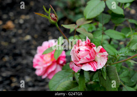 A rose is a woody perennial flowering plant of the genus Rosa, in the family Rosaceae, or the flower it bears. - Stock Photo