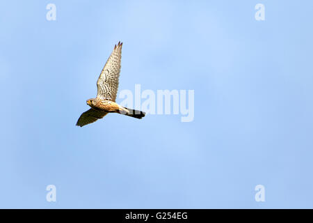 Lesser Kestrel (Falco naumanni), adult male in flight, Upper Bavaria, Germany, Europe - Stock Photo