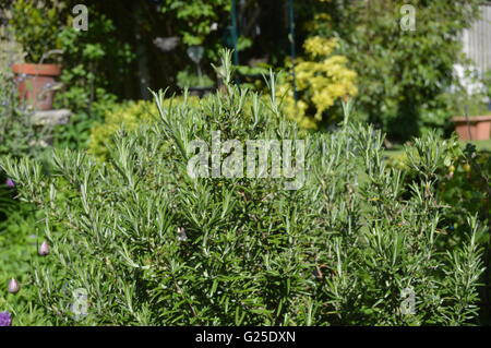 Herbs - Rosemary (Rosmarinus officinalis) commonly known as rosemary, is a woody, perennial herb with fragrant, - Stock Photo