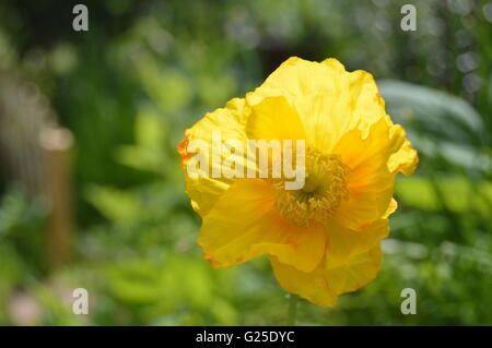 The Welsh poppy, is a perennial flowering plant in the poppy family Papaveraceae. Meconopsis cambrica - Stock Photo