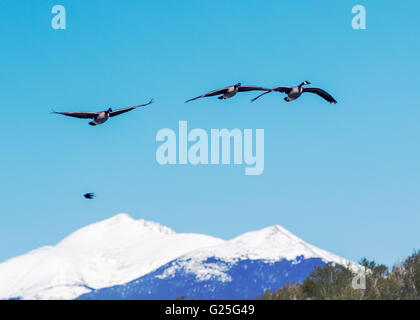 Canada Geese in flight against clear blue sky; snow covered Rocky Mountains in background; Central Colorado; USA - Stock Photo