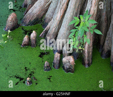 Cypress knees at the base of a Bald Cypress tree (Taxodium distichum) in Cypress Island Preserve on the shoreline - Stock Photo