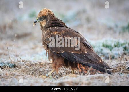 Western Marsh-harrier (Circus aeruginosus) perched on ground. Ivars lake. Lleida province. Catalonia. Spain. - Stock Photo