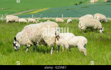Flock of sheep (Ovis Aries) with lambs suckling milk from their Mother on the south downs in West Sussex, England, UK.