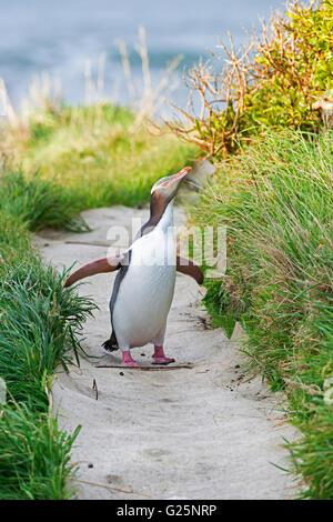 Yellow-eyed Penguin (Megadyptes antipodes) walking, Dunedin, Otago, South Island, New Zealand - Stock Photo