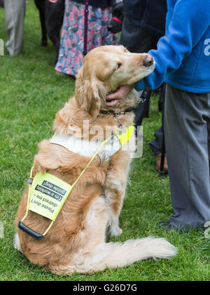 London, UK. 25 May 2016. 100 guide dog owners with their guide dogs descended on Westminster today to lobby their - Stock Photo