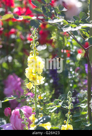 A bee flies off from a yellow antirrhinum towards mixed flowers and plants on a beautiful sunny day in Chelsea at - Stock Photo