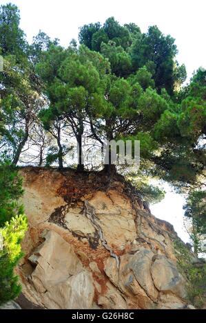 Pine tree on rock in Podgora, Croatia - Stock Photo