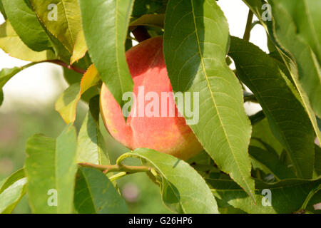 Sweet peach fruit hanging on a tree branch. - Stock Photo