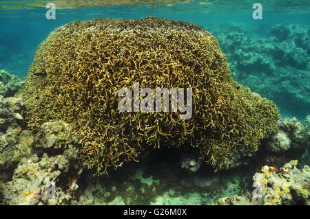 Coral block reaching surface at low tide - Stock Photo