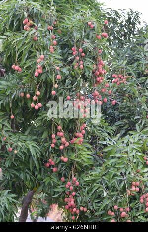 Litchi Fruit, Fruits, Indian fruits, fruit tree - Stock Photo