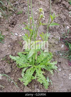 Hirtentaeschelkraut; Ist eine Heilpflanze und Arzneipflanze, Wildpflanze - Stock Photo