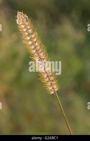 Grass stalk against blurred natural background in meadow - Stock Photo