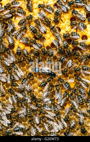 Queen bee, marked and surrounded by worker bees - Stock Photo