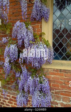 Wisteria floribunda growing around garden wall - Stock Photo