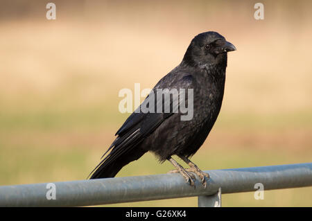 A Carrion Crow (Corvus corone) standing on a metal gate. - Stock Photo