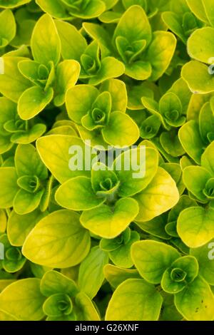 Origanum vulgare aureum Creeping Golden Marjoram - Stock Photo