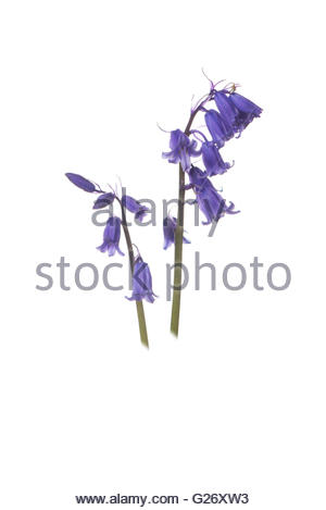 Common Bluebell - Hyacinthoides non-scripta - Stock Photo